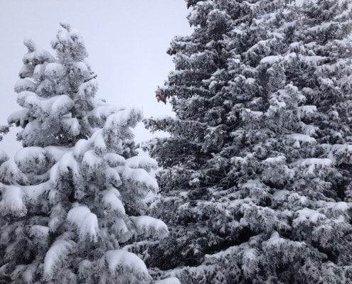 CVL Trees with snow on them in a white out